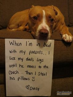 #pitbull pup likes to make human dad move to steal his pillow :)