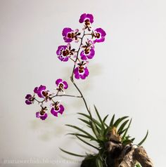 Tolumnia Orchids | Tolumnia Pink Panther in bloom