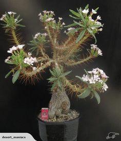 Pachypodium namaquanum x bispinosum