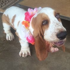 Angel Soul as a little puppy - 12 weeks old🐾🌴 Bassett Hound, Little Puppies, 12 Weeks, Puppy Love, Cocoa, Sassy, Bliss, Angel, Animals
