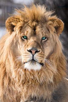 #lion #nature