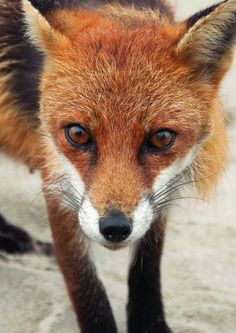 funkysafari:    Dollymount Red Fox, Ireland   by stephendoyle1981