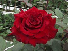 Hearts - Standard Rose - Roses - Flowers by category | Sierra ...
