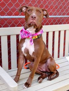 TO BE DESTROYED - 03/21/15 Manhattan Center -P  My name is DUTCHESS. My Animal ID # is A1029810. I am a female brown and white pit bull mix. The shelter thinks I am about 2 YEARS old.   For more information on adopting from the NYC AC&C, or to  find a rescue to assist, please read the following: http://urgentpetsondeathrow.org/must-read/