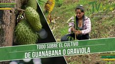 Todo Sobre el Cultivo de Guanábana o Graviola  - TvAgro por Juan Gonzalo...