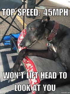 45 mph couch potato - funny greyhound