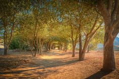 The oak grove tunnel at the trailhead to the Iron Mountain summit in Poway, California Northeast of San Diego. Photo by Paul W.