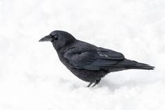 A Crow in the Snow... by Daniel Parent