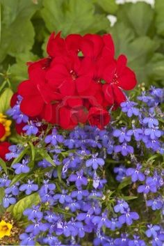 Red Geranium with trailing Blue lobelia.I'd throw in some Vinca vine and White sweet alyssum. Lobelia Flowers, Vinca Vine, Front Porch Flowers, Pots, Geranium Flower, Pot Jardin, Red Geraniums, Nature Decor, Trees And Shrubs