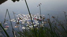 Lillies on our pond. www.walterstheatre.com