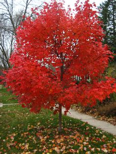 Autumn Blaze Maple; available at Fannin Tree farm in Frisco, TX 35' tall good for front yard