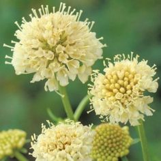 Scented, Aromatic, Fragrant Shrubs and Garden Plants: Scabiosa Atropurpurea 'Fata Morgana' (Sweet Scabious) Cut Flowers, Yellow Flowers, Tall Flowers, Autumn Flowers, Outdoor Plants, Garden Plants, Sun Garden, Flowering Plants, Bee Friendly Plants
