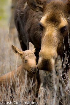 Baby moose with Mom #LIFECommunity #Favorites From Pin Board #15