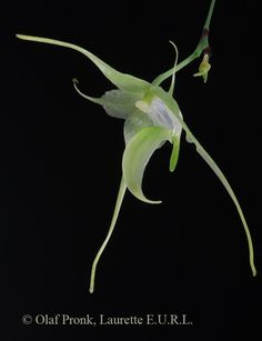 Aeranthes crassifolia