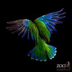 Zoo studio, Brisbane.  Parrot in flight.