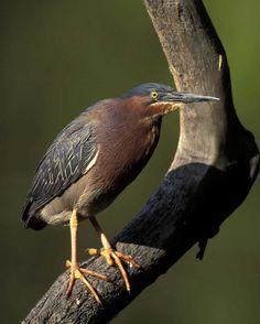 Green Heron   Audubon Field Guide by Arthur Morris/VIREO