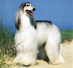 Afghan Hound | For more photos visit DOGSArena.com