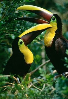 Chestnut-Mandibled Toucans, photo by Art Wolfe Tropical Birds, Exotic Birds, Colorful Birds, Jungle Animals, Animals And Pets, Cute Animals, Pretty Birds, Beautiful Birds, Art Wolfe