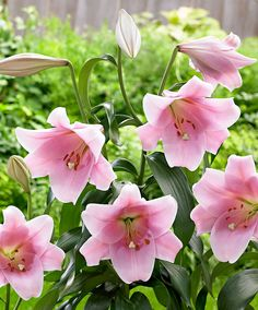 Giant Trumpet Lily 'Bellsong'  Do you want to plant an exclusive flower in your garden? Then this gorgeous trumpet lily 'Bellsong' is exactly what you are looking for. The huge, pale pink flowers on this lily can grow to 25 cm and they emit an enchanting fragrance. The flowers grow on sturdy stalks that can reach a height of 1.5 m tall after a few years! It is therefore the ideal cut flower suitable for large or small bouquets and flower arrangements.