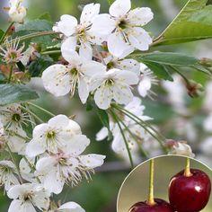 Kirsikka Latvian Matala - Viherpeukalot