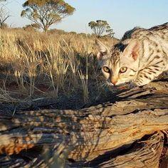 Stealth!!! #catsrule #catwalk #bengal #petstagram #catslover #catlife #cats #catlady ady  #catstagram #catsofig #catoftheday #catofinstagram #catsworld #catslover #catslife #catslovers #bengalsofinstagram #cat #cats #purehunter #proplancat #purina #fancyfeast #royalcat #whiskas #meow #feline