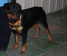 Dark Waters Rottweilers - Florida