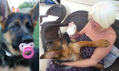 Meet the German Shepherd puppy that thinks she's a human baby