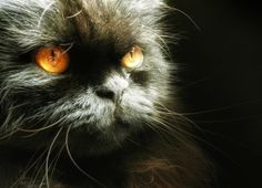 Toffee: Gato persa europeo, negro, de ojos naranjas.