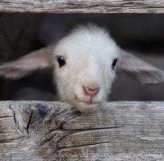 Sweetness! Veganism, Animal Rights, Lamb