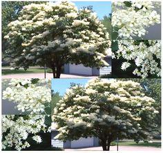 Japanese Tree Lilac  Syringa reticulata seed by ALLooABOUTooSEEDS