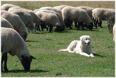 A livestock guardian dog (like the Maremma) keeps everyone safe!