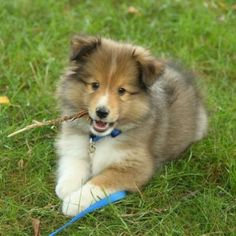 I don't do fetch. I prefer to chew on the stick and keep it for myself. Sheltie Puppies For Sale, Cute Puppies, Dogs And Puppies, Rough Collie, Collie Dog, Collie Puppies, Border Collie, Shetland Sheepdog, Dog Photos