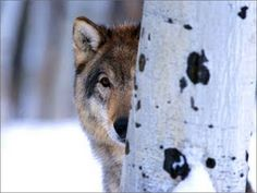 One of my favorite pictures...Wolves are beautiful animals.