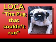 Cute pug can't run and sings a song about it.