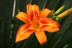 Orange Daylily bloom... watercolor tattoo