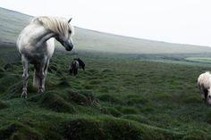 Some beautiful wild horses met on the way to Hofn, Iceland.  #Europe #Hofn #horses #Iceland #landscape #landscapephotography #marcoromani #marcoromaniphotography #outdoorphotography #whitehorses #wildhorses