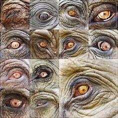 indische olifant - ogen