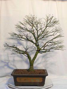*rs Bonsai Acer palmatum Kiyohime Jap. Fächerahorn 010