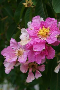 Lagerstroemia speciosa (Queen's Crape Myrtle) (7)   …   Flickr - Photo Sharing!