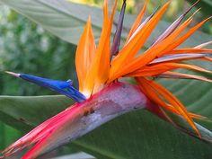 Bird of Paradise   Barbara (Petrick) Johnson   Flickr Paradise Flowers, Exotic Flowers, Love Birds, Plants, Plant, Planting, Planets