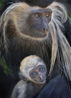 The newest addition to Monkey Trails. The Angolan Colobus Monkey Nature Animals, Animals And Pets, Baby Animals, Funny Animals, Cute Animals, Monkeys Animals, Strange Animals, Wild Animals, Primates
