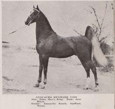 American Saddlebred stallion Anacacho Denmark as a young stallion.