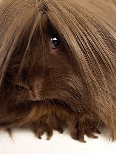 Long-haired guinea pig, Close-up Fine Art Print by Michael Blann