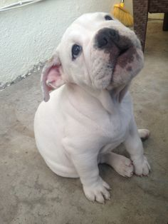 i want to say bulldog  but what kind?