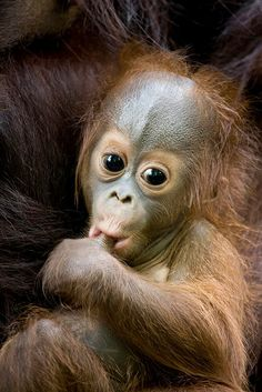 Orangutan Baby and Mother.