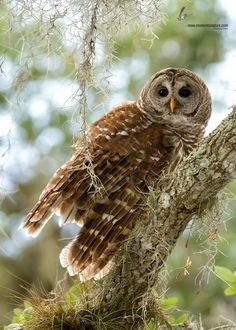 Barred Owl & Spanish Moss - Indian River County, Florida