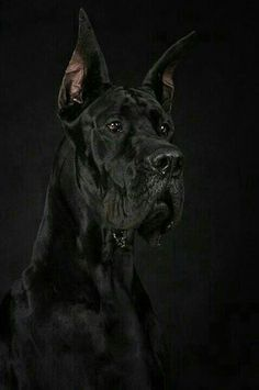 Portrait of great dane