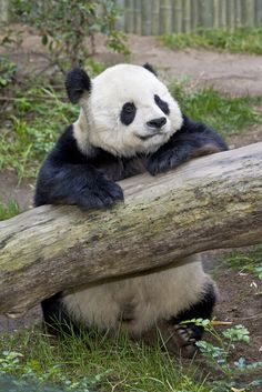 Gao Gao (pronounced Gow Gow), a geriatric male panda living at the San Diego Zoo, underwent a medical checkup on Tuesday, June 14, 2016, to allow animal care staff to get a close look at his heart.