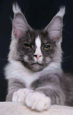 Sarmat AkellaLeader 3 months male, fs 09 option for me Pretty Cats, Beautiful Cats, Animals Beautiful, Cute Animals, Animals Images, Kittens Cutest, Cats And Kittens, Kitten Baby, Siberian Cats For Sale