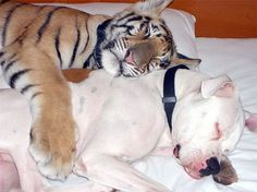 unlikely-sleeping-buddies-animal-friendship-211__605